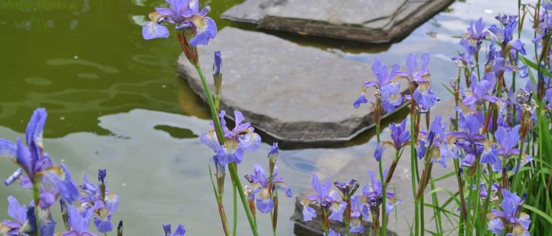 Aquarius Pond Iris